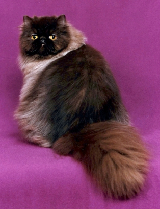 Chocolate_Persian